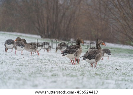 mallard duck on snow in winter - stock photo
