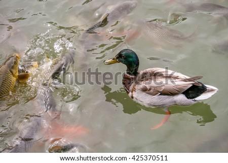 Mallard duck on the lake among fishes - stock photo