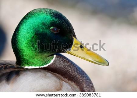 mallard duck profile - stock photo