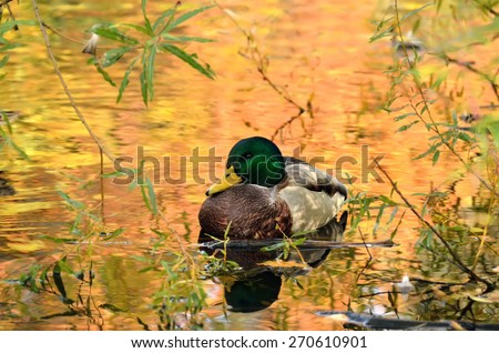 Mallard duck sitting in pond, the water in reflection of colorful autumn trees. - stock photo