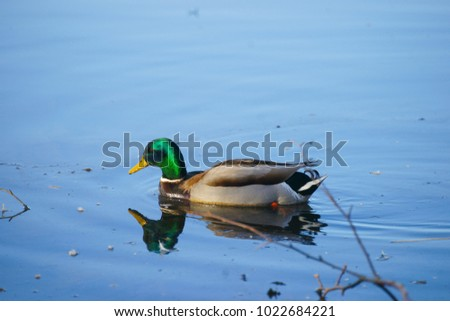 Mallard Duck Swimming