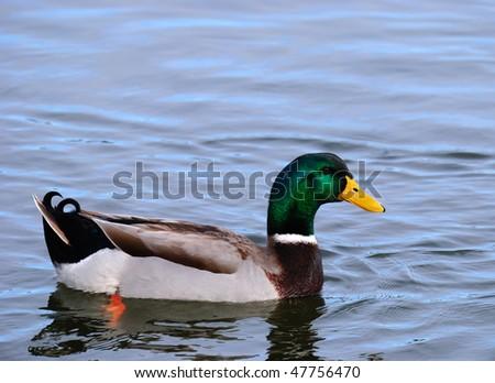 Mallard duck swimming in a lake - stock photo