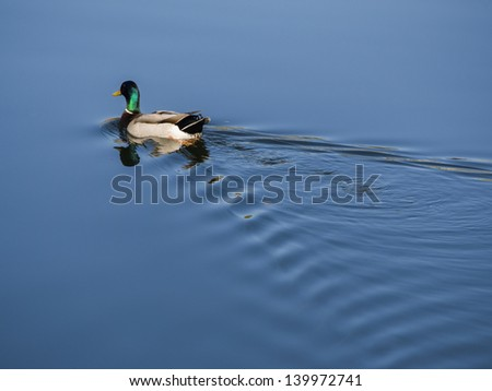 Mallard duck swimming out of the frame with gentle ripples in his wake - stock photo