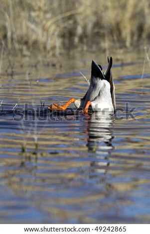 Mallard Duck, upside down as he dives for food - stock photo