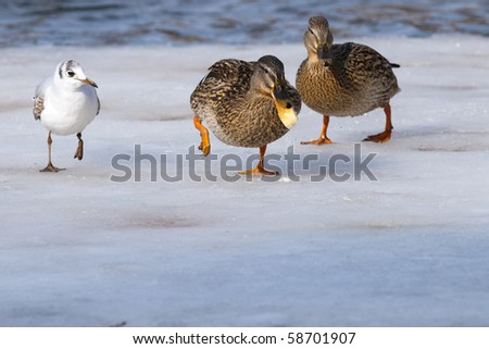 Mallard Duck with a piece of bread on ice - stock photo