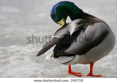 Mallard duck with beak into back feathers.  Standing on frozen lake.