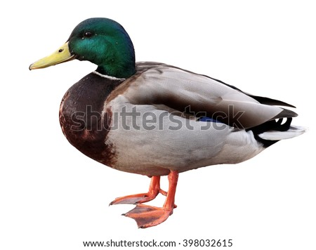 Mallard Duck with clipping path. Colourful mallard duck isolated on white background - stock photo