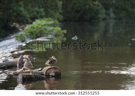 Mallard duck with duckinglins on the River Derwent - stock photo