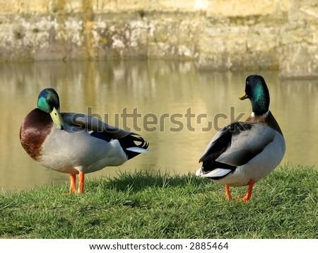 Mallard Ducks - stock photo