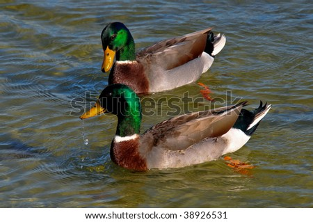 Mallard Ducks - stock photo
