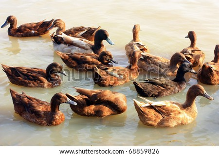 Mallard ducks are swiming at the pond - stock photo