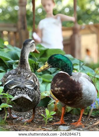 Mallard Ducks being Fed by Girl - Feeding Ducks - stock photo