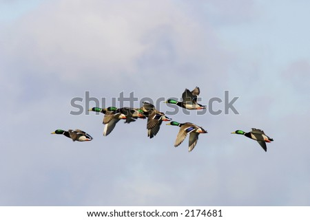 Mallard ducks flying in the sky - stock photo