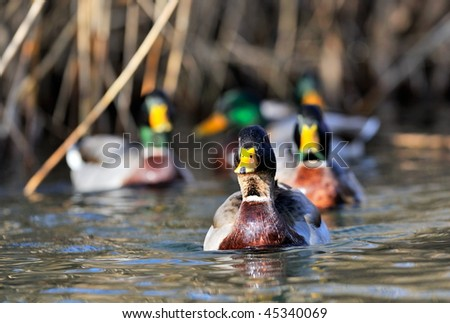 mallard ducks on the lake - stock photo