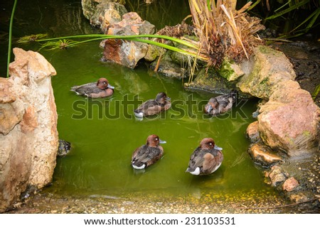 Mallard Ducks relaxing in pond with green water - stock photo