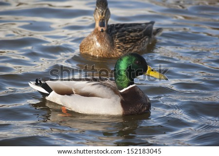 Mallard ducks swimming in the winter - stock photo