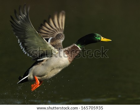 mallard, eurasian wild duck, Anas platyrhynchos, Germany - stock photo