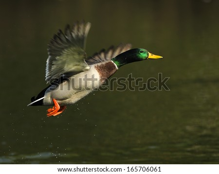 mallard, eurasian wild duck, Anas platyrhynchos, Germany - stock photo