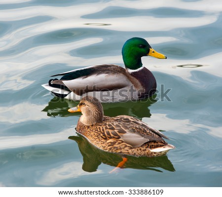 Mallard (female and male) swimming in the water  - stock photo