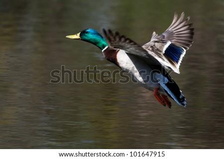 Mallard in flight and ready to land. - stock photo