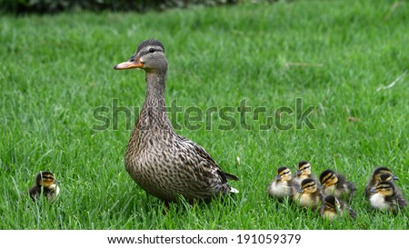 Mallard Mother Duck with babies on grass
