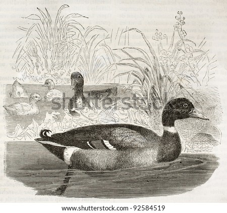 Mallard old illustration (Anas platyrhynchos). Created by Kretschmer and Jahrmargt, published on Merveilles de la Nature, Bailliere et fils, Paris, ca. 1878 - stock photo