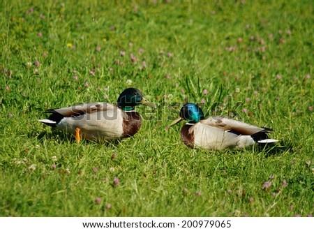 Mallard on a meadow - stock photo