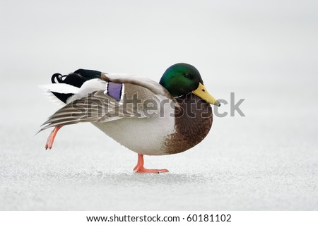 Mallard walking on ice - stock photo
