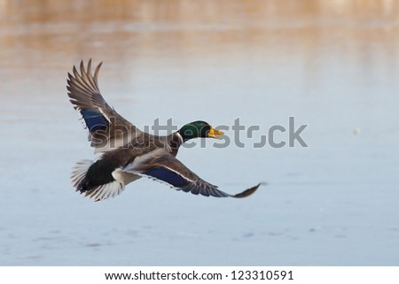 Mallard with wings out over an icy pond - stock photo