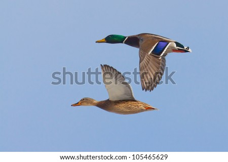 Mallards in flight - stock photo