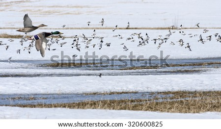 Mallards, wild duck and snow bunting in bird migration. Anas platyrhynchos, Plectrophenax nivalis in seasonal movement between breeding and wintering grounds.  - stock photo