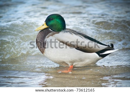 Mallared Duck in the water. - stock photo