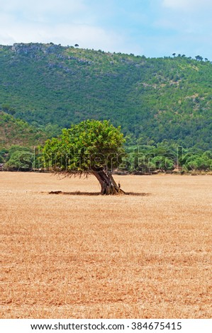Mallorca, Balearic Islands, Spain: the countryside of Mallorca, tree and wheat fields on June 12, 2012