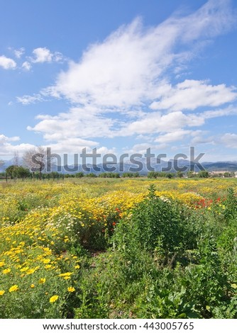 Mallorca blossoming spring landscape with red poppies, green and yellow field and the Tramuntana mountains in the distance. Mallorca, Balearic islands, Spain in early April.