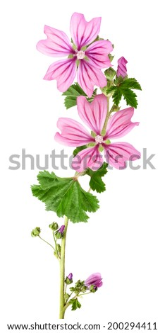 mallow flowers and leaves  isolated  on white background - stock photo