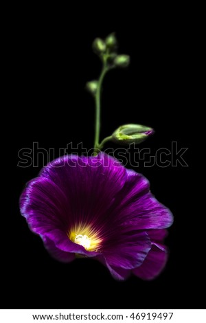 mallow flowers isolated on black