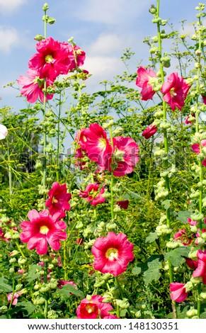 mallow in the garden, closeup - stock photo