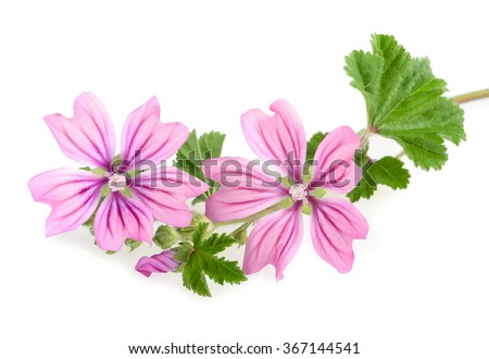 mallow sprig with leaves and flowers isolated - stock photo