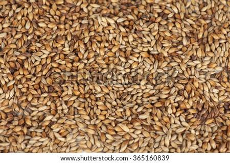 malt grains closeup - stock photo