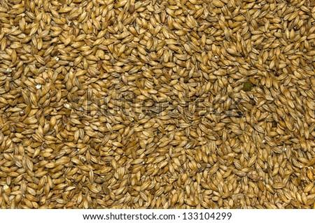 Malt seeds - stock photo
