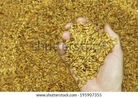 Malt seeds in hand - stock photo
