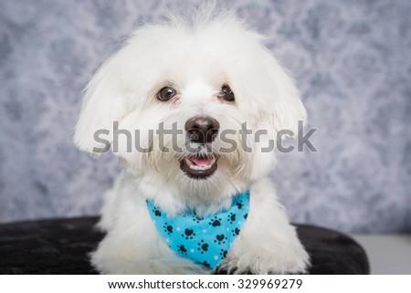 Maltes Dog headshot instudio - stock photo