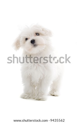 Maltese dog - stock photo