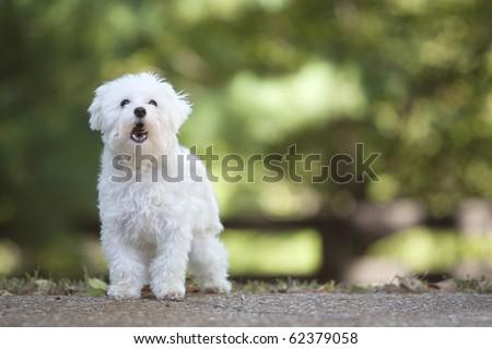 maltese dog barking - stock photo