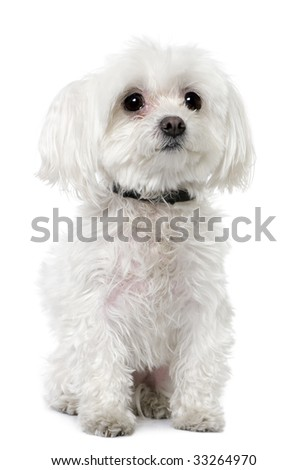 maltese dog in front of A white background - stock photo