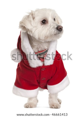 Maltese dog in Santa Claus suit, 3 years old, standing in front of white background - stock photo