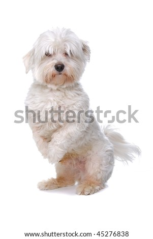Maltese dog isolated on a white background - stock photo