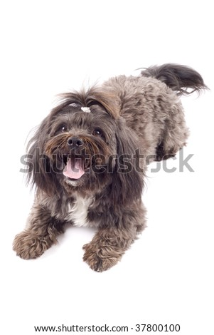 maltese dog lying down in front of white background - stock photo
