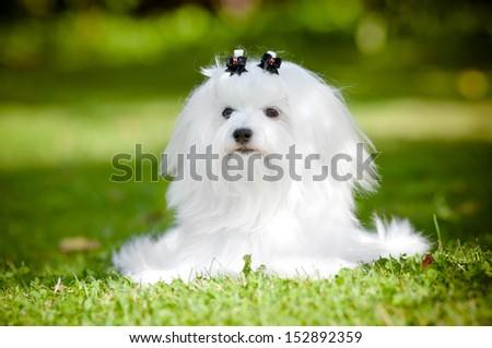 maltese dog lying down outdoors - stock photo