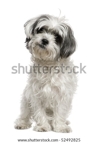 Maltese dog mixed with a Shih Tzu, 3 years old, sitting in front of white background - stock photo